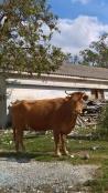 Το βλέμμα της αγελάδας!