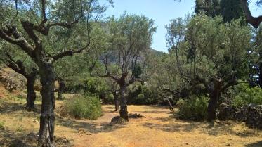 Χωράφι από λιόδεντρα